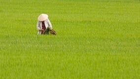 Bonde som arbetar på en ricefield i Vietnam, Nha Trang Arkivfoto