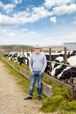 Bonde som arbetar på lantgård med mejerikor Arkivbilder