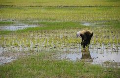 Bonde som arbetar på risen för risfältfält Royaltyfria Bilder