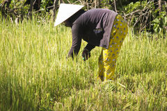 Bonde som arbetar på risen för risfältfält Royaltyfri Bild