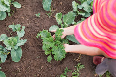 Bonde som att bry sig för unga grönkål- och kålväxter Arkivfoton