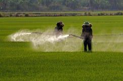 Bonde som besprutar bekämpningsmedlet i risfältfält royaltyfria bilder