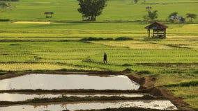 Bonde som går i risfältfältet Royaltyfri Fotografi