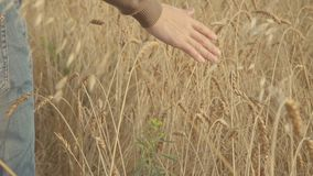 Bonde som går till och med guld- vetefält och trycker på öron av moget vete långsamt lager videofilmer