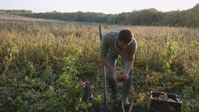 Bonde som gräver upp med en showel och skördar sötpotatisar på fältet lager videofilmer