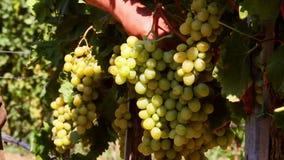 Bonde som kontrollerar druvor i en vingård för skörd stock video