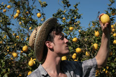 Bonde som kontrollerar en citron royaltyfria bilder