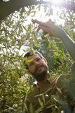 Bonde som kontrollerar ett träd av oliv arkivfoton