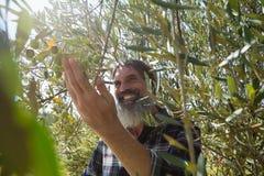 Bonde som kontrollerar ett träd av oliv royaltyfri bild