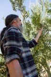 Bonde som kontrollerar ett träd av oliv royaltyfri fotografi