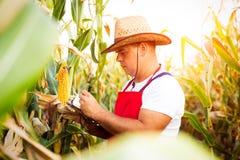 Bonde som kontrollerar hans cornfield royaltyfri foto
