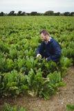 Bonde som kontrollerar hans skördar i fältet Royaltyfria Bilder