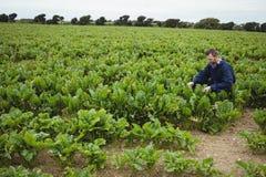 Bonde som kontrollerar hans skördar i fältet Royaltyfria Foton