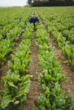 Bonde som kontrollerar hans skördar i fältet Royaltyfri Foto