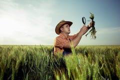 Bonde som kontrollerar kvaliteten av vete med förstoringsglaset arkivfoton
