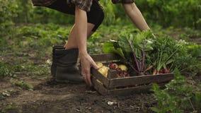 Bonde som mycket rymmer träasken av nya organiska grönsaker, potatis, morötter, tomat, beta, rädisa på ecolantgård i solnedgånglj stock video