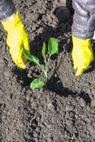 Bonde som planterar forsen av kål i plöjd jord Arkivbild
