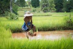 Bonde som planterar ris i den regniga säsongen Arkivfoton