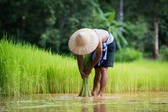 Bonde som planterar ris i den regniga säsongen Arkivbild