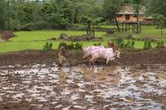 Bonde som plogar risfältfält med hans tjurar royaltyfri fotografi
