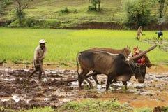 Bonde som plogar risfältfältet med hans tjurar, innan att plantera ris, Pune arkivbilder