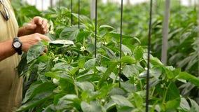 Bonde som reviderar pepparväxter i växthus arkivfilmer