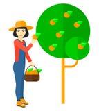 Bonde som samlar apelsiner Fotografering för Bildbyråer