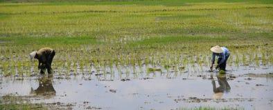 Bonde som två arbetar på risen för risfältfält Arkivfoton