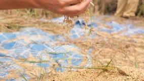 Bonde Woman Holding Handful av organiska ris på skörden på Paddy Field bali indonesia 4K Slowmotion slut upp kvinnlig lager videofilmer