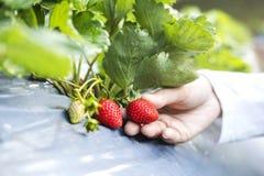 Bonde Woman som kontrollerar jordgubben i organisk jordgubbelantgård royaltyfria bilder