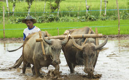Bonde Working med buffel två Arkivfoto