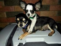 Bonded Pair of Chihuahuas. Male and female chihuahua playing together royalty free stock photography