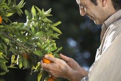 BondeExamining Oranges On träd i lantgård arkivfoto