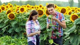 Bondefamiljen kontrollerar skörden, mannen och kvinnan i den agrariska sfären som talar i ett fält av solrosor arkivfilmer