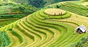 Bondegrupper i fälten som skördar ris terrasserade fält royaltyfri bild