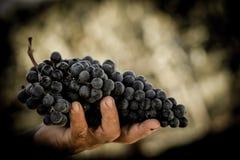 Bondehänder med nytt skördade svarta druvor Royaltyfri Foto