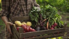 Bondehänder som mycket rymmer träasken av nya organiska grönsaker, potatis, morötter, tomat, beta, rädisa på ecolantgård i solned arkivfilmer