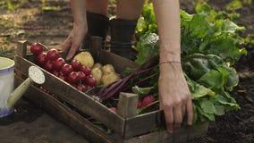 Bondehänder som mycket rymmer träasken av nya organiska grönsaker, potatis, morötter, tomat, beta, rädisa på ecolantgård i solned stock video