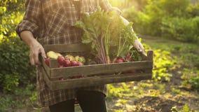 Bondehänder som mycket rymmer träasken av nya organiska grönsaker, potatis, morötter, tomat, beta, rädisa på ecolantgård stock video
