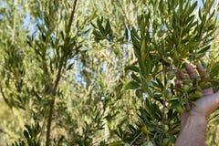 Bondehand som kontrollerar ett träd av oliv arkivbilder
