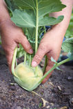 Bondehand som skördar bio grönsaker Royaltyfri Fotografi