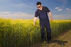 BondeInspecting moget korn på fältet Royaltyfria Bilder