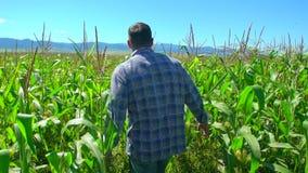Bondeman som går till och med koloni av havre Manliga bondehänder som kontrollerar och kontrollerar kvalitet av växter av organis lager videofilmer