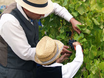 Bondemannen undervisar för att klippa druvorna till ett barn Arkivfoto