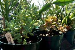 Bondemarknadsväxter - suckulenter Royaltyfri Foto