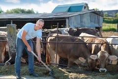 Bonden arbetar på lantgård med mejerikor Arkivbild