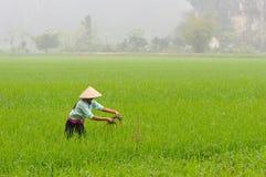 Bonden arbetar på risfälten Arkivbilder