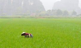 Bonden arbetar på risfälten Royaltyfri Foto