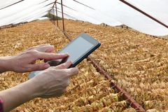 Bonden eller agronomen kontrollerar tobakuttorkning och beräknar fotografering för bildbyråer