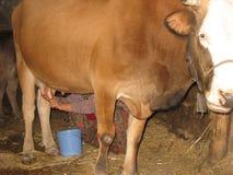 Bonden för den gamla kvinnan mjölkar en ko Arkivbild